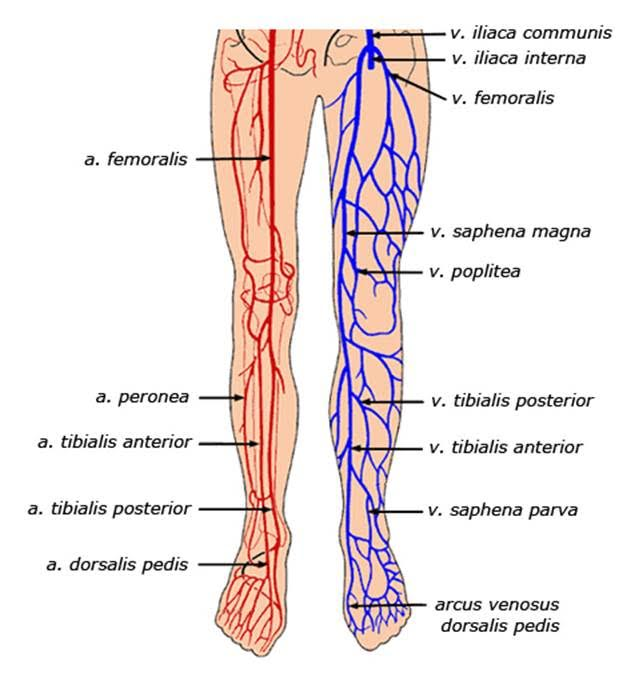 Treatment Options For Painful Varicose Veins Wake Radiology